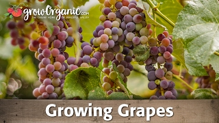 How to grow potatoes organically videos de groworganic - Difference between wine grapes and table grapes ...