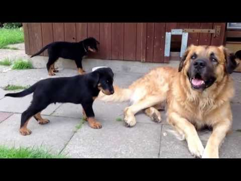 Video zu Germanischer B�renhund