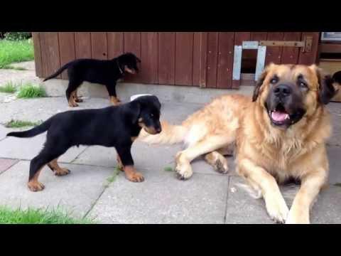 Video zu Germanischer Bärenhund