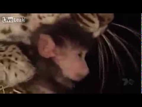 Báo đốm chăm sóc khỉ con sau khi lỡ giết khỉ mẹ