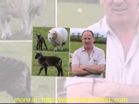 Rare goat sheep Irish farm  Козел родился у овцы на ферме в Ирландии