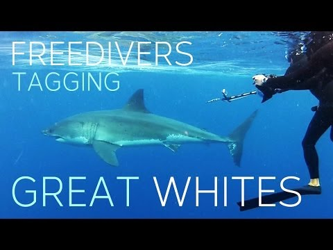 Freedivers tagging Great White Sharks (TWP)