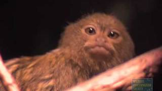Pygmy Marmoset Twins At The Bronx Zoo!