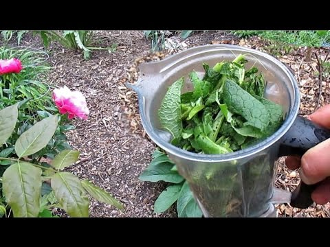Easy DIY Comfrey Liquid Fertilizer