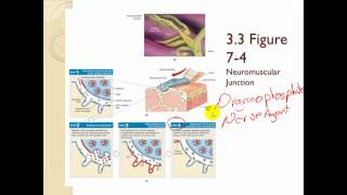 Chapter 7 The Muscular system Part 1