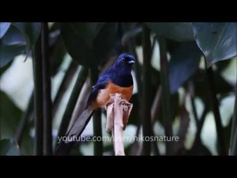Shama bird singing - responding to whistles in the forest