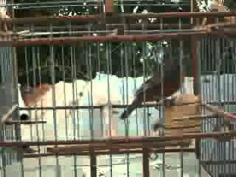 ave de venezuela(sangre e toro, candelilla, san joselito) rosita o meriño