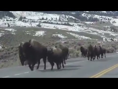 Are these bison just running or running for their lives?