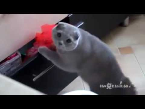 貓貓偷東西吃被捉,之後擺出無辜樣!Cute cat pretend innocent
