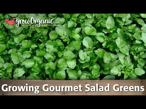 Growing Gourmet Salad Greens