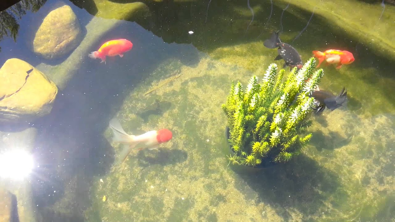 Goldfish pond youtube for Goldfish pond
