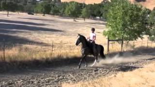 Tennessee Walking Horse- Flat Walk, Running Walk, Rack