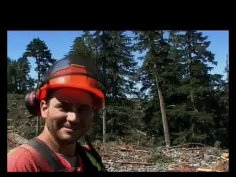 Loggers DVD extract downing a big tree