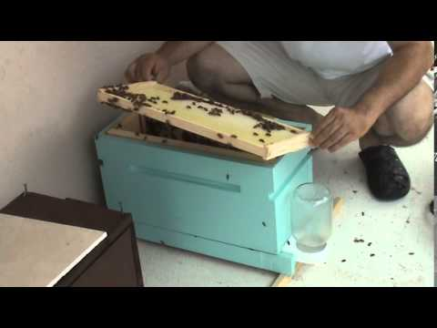 Finding the queen in a small colony of honeybees - Beekeeping