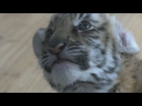 Cute! Endangered tiger cub set for debut at China zoo