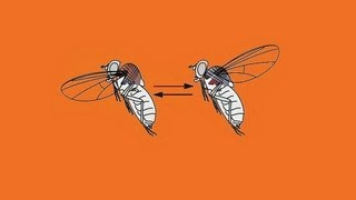 Sinek nasıl uçar? sineğin uçma prensibi