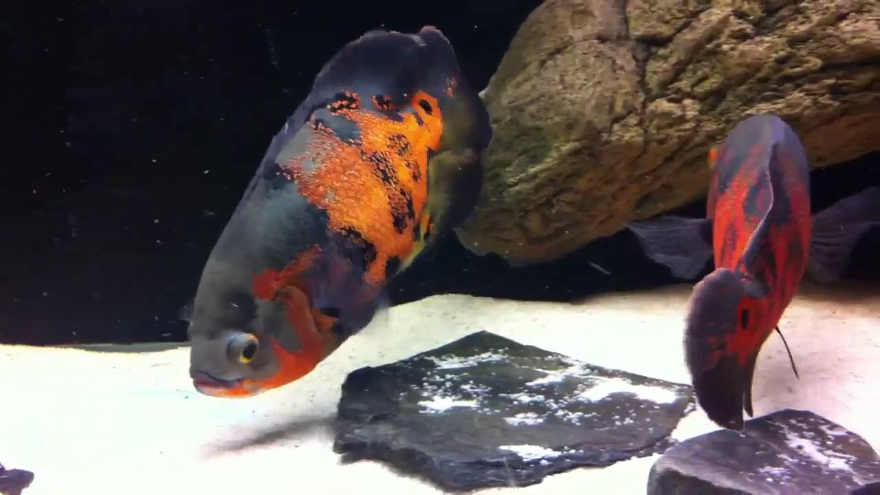 how to breed tiger oscar fish