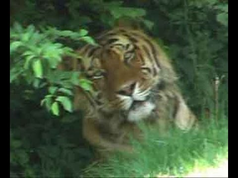 Man-eater tigress attacks another woman