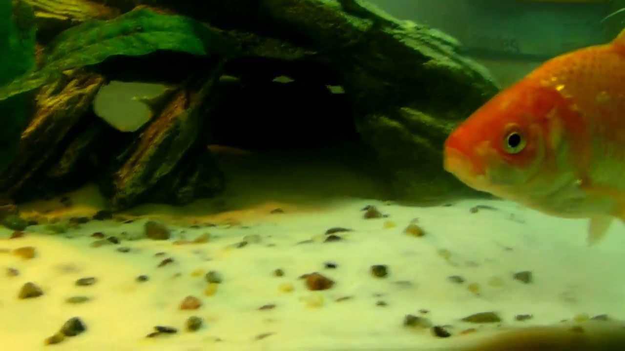 ... Planted Goldfish and Dojo/Weather Loach freshwater tank - YouTube