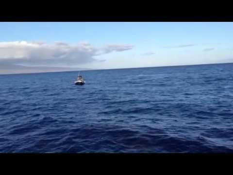 Maui humpback whales
