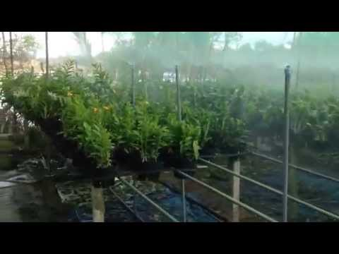 Vườn lan denro cực đẹp dùng hệ thống tưới phun sương.