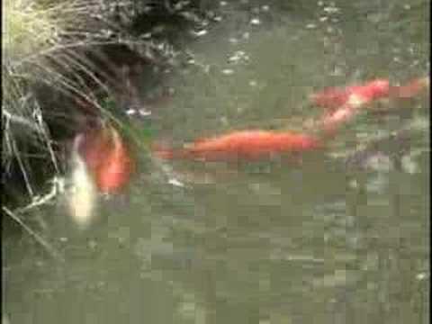 Koi breeding youtube for Raising koi fish
