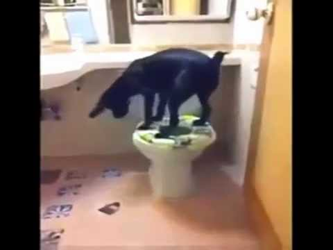dog in toilet- edhe qent pshurin ne WC !!!