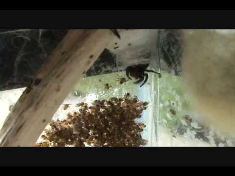 Orb Weaver and Her Spiderlings.wmv