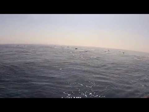 Mega Pod of Common Dolphins off coast of San Diego