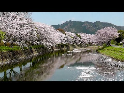 Japanese cherry blossom viewing in Japan, Hanami