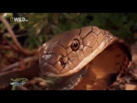 Hổ Mang Bành - Vua của loài rắn - Thiên nhiên hoang dã HD Thuyết minh