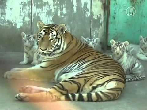 Đàn bạch hổ con sống nhờ mẹ nuôi