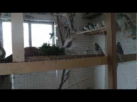 yaz raf - Budgie birds crazy on celery HD - طيور البادجي والكرفس