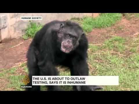 Scientists question US chimpanzee testing ban