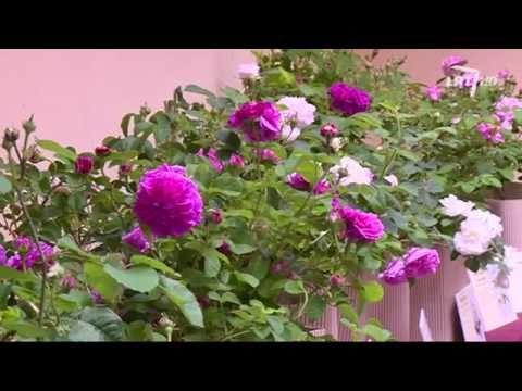 Kaip kvepia senovinių veislių rožės? Kviečiame apsilankyti rožių parodoje.