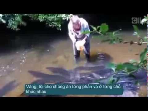 Cận cảnh bầy lươn khổng lồ ''đi dạo''