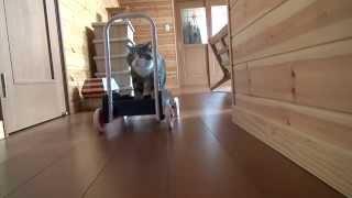 押すねこ。-A pushcart and Maru.-
