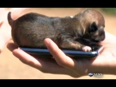 World S Smallest Puppy Cute Animals Episode 7 Youtube