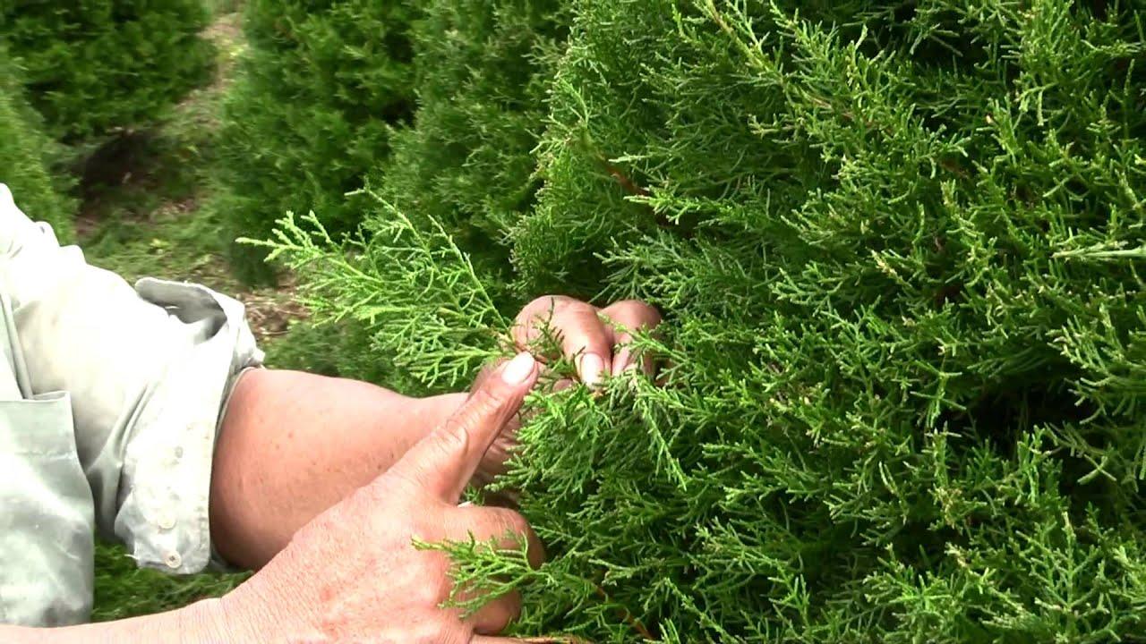 Cultivo pino youtube for Capillas de velacion jardin de los pinos