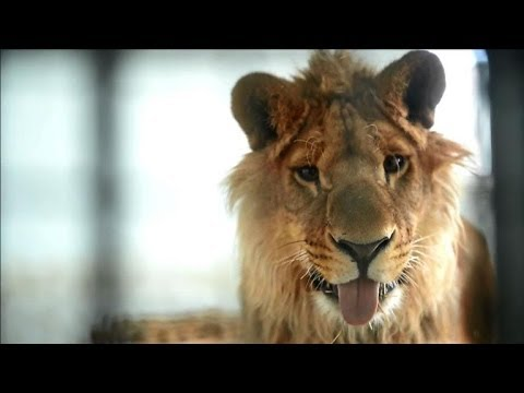 New life at Kabul zoo for lion who lived on a rooftop