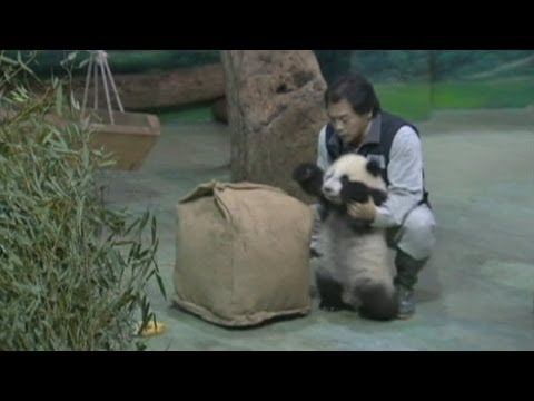 Adorable baby panda: Cub climbs over logs during debut in Taiwan