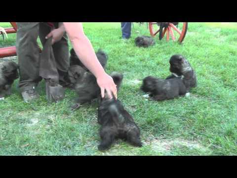 5 weeks old caucasian shepherd puppies (Borisz x Donaya) Ürögpásztora kennel