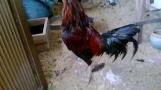 Ban Ga Peru Giong(thuan Chung) Capello 2kg8. 0908474702