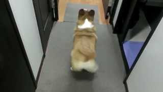 Bubble Butt Corgi Twerk