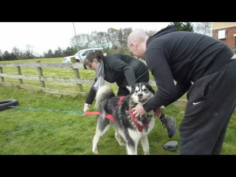 AMCUK Fun Day Scotland - Nanook's first weight pull