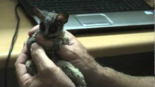 Boris the house Bushbaby view on youtube.com tube online.