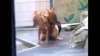 Foxes Mating Breeding