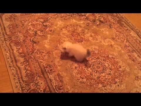 My kitten afraid of the carpet