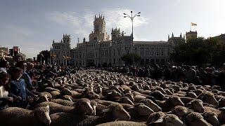 شاهد: الخرفان تعوض السيارات في شوارع مدريد | قنوات أخرى