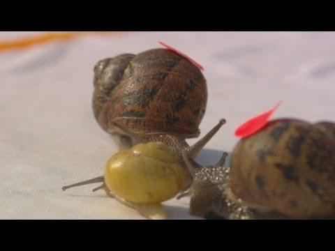 World Snail Racing Championships 2014
